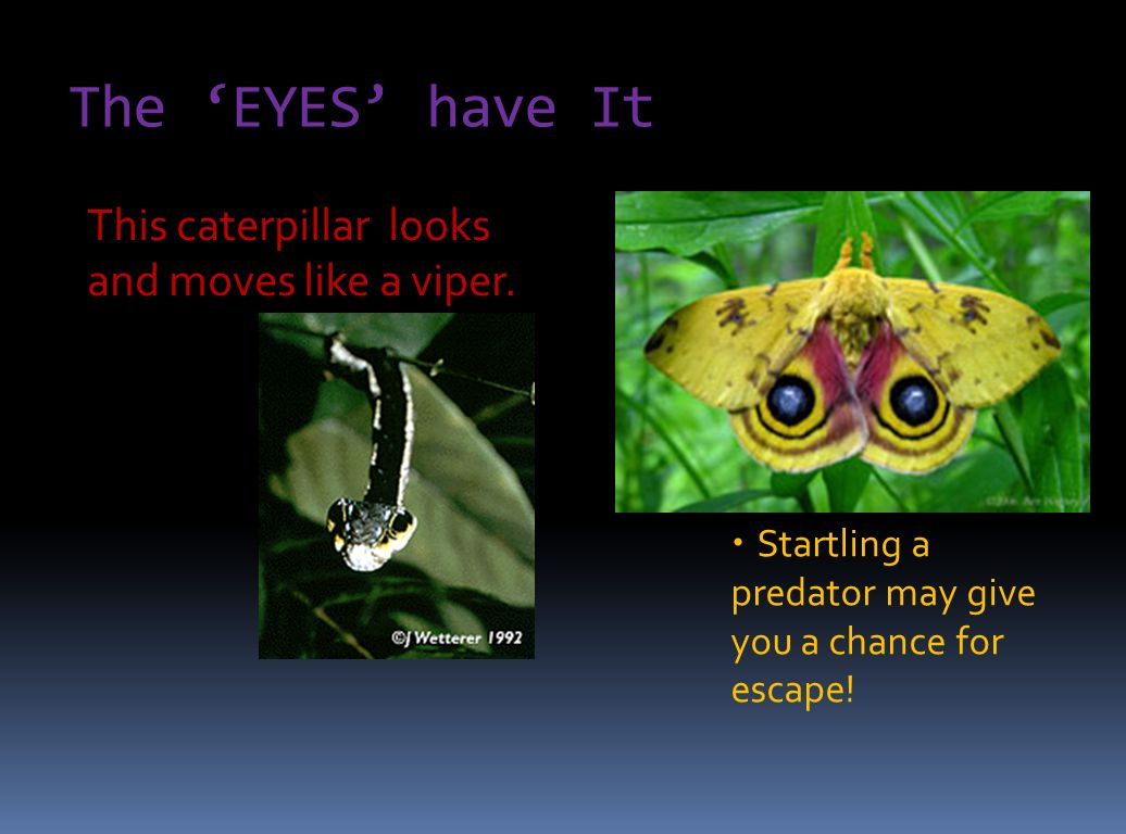 The 'EYES' have It  Startling a predator may give you a chance for escape! This caterpillar looks and moves like a viper.