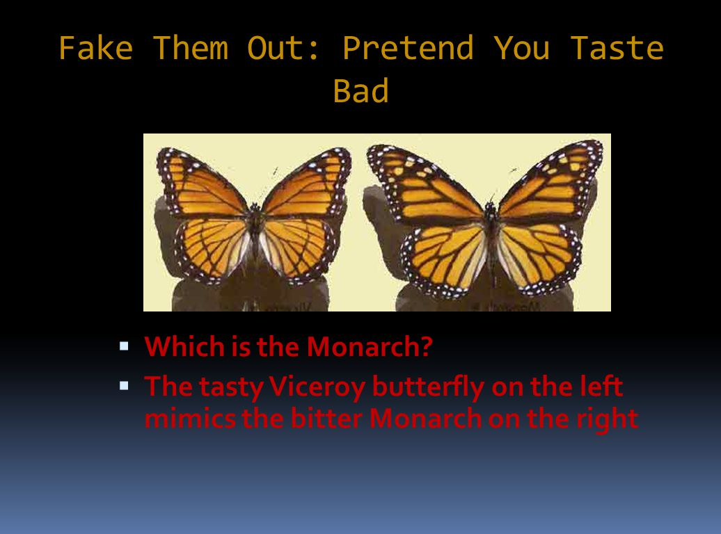 Fake Them Out: Pretend You Taste Bad  Which is the Monarch?  The tasty Viceroy butterfly on the left mimics the bitter Monarch on the right