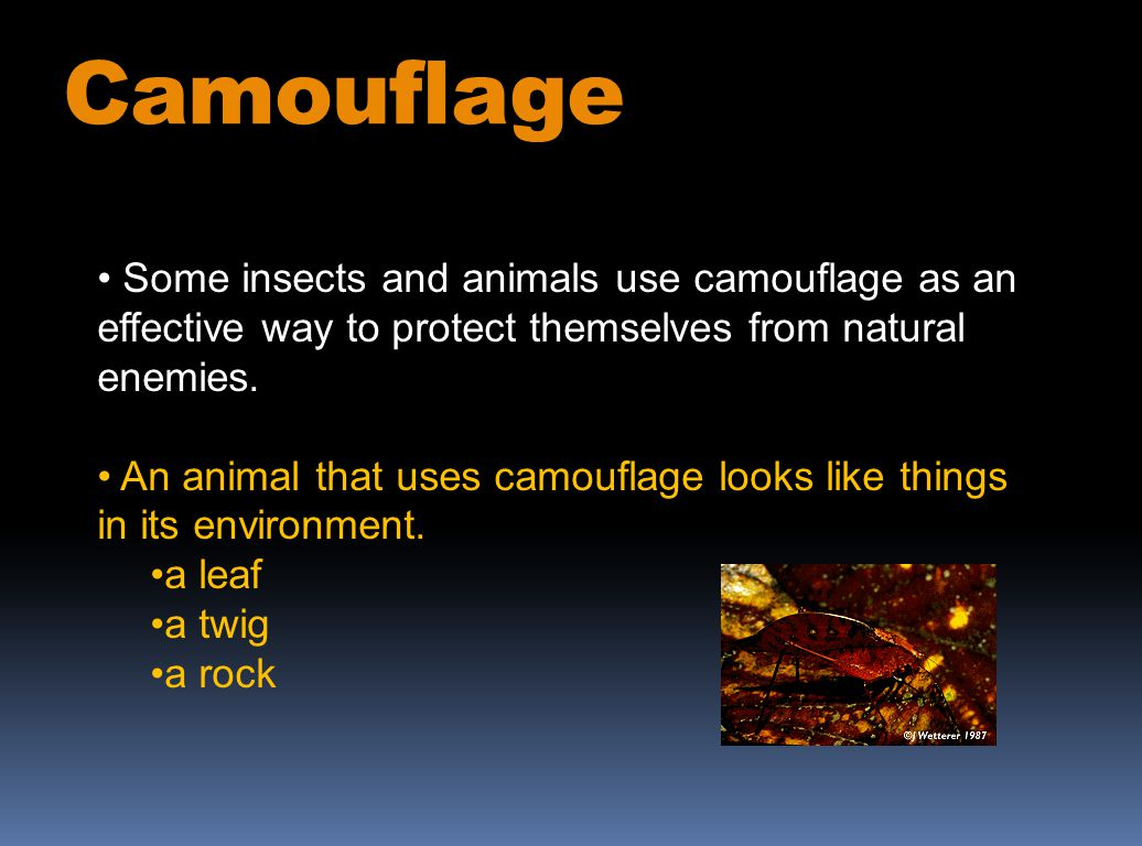 Some insects and animals use camouflage as an effective way to protect themselves from natural enemies. An animal that uses camouflage looks like thin