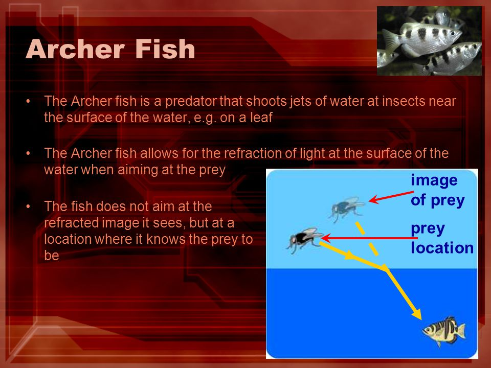 Archer Fish The Archer fish is a predator that shoots jets of water at insects near the surface of the water, e.g.