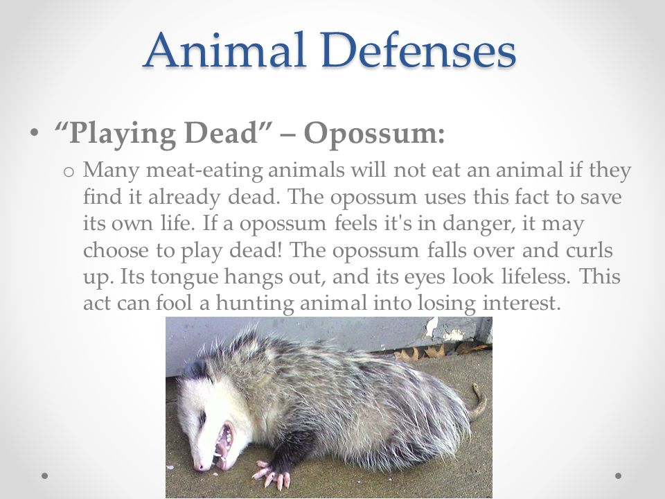 Animal Defenses Playing Dead – Opossum: o Many meat-eating animals will not eat an animal if they find it already dead.
