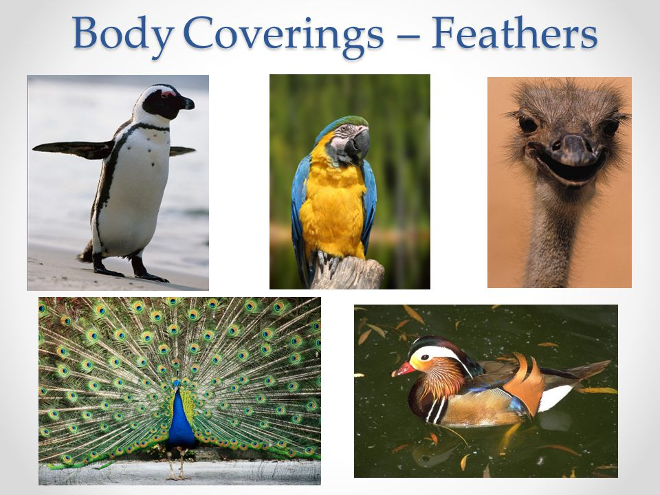 Body Coverings – Feathers