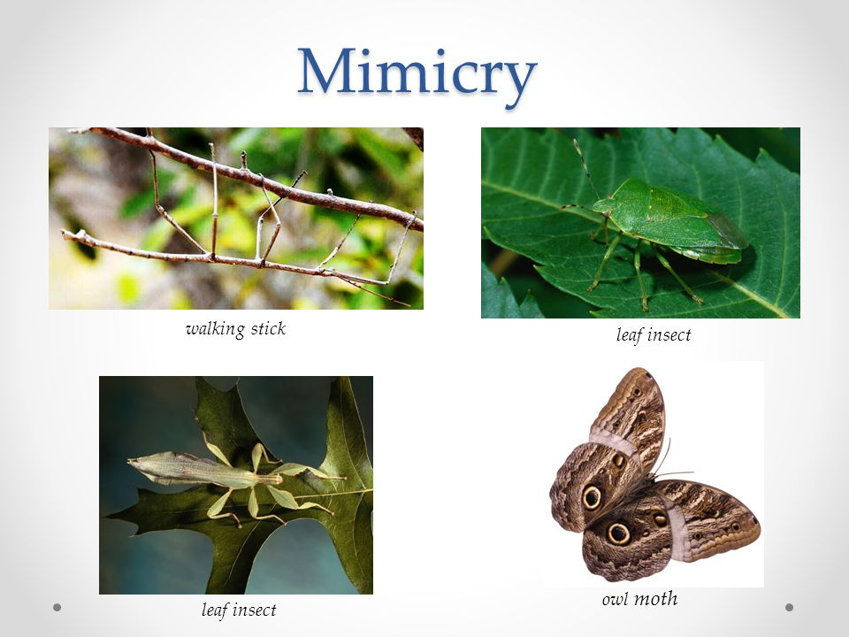 Mimicry walking stick leaf insect owl moth leaf insect