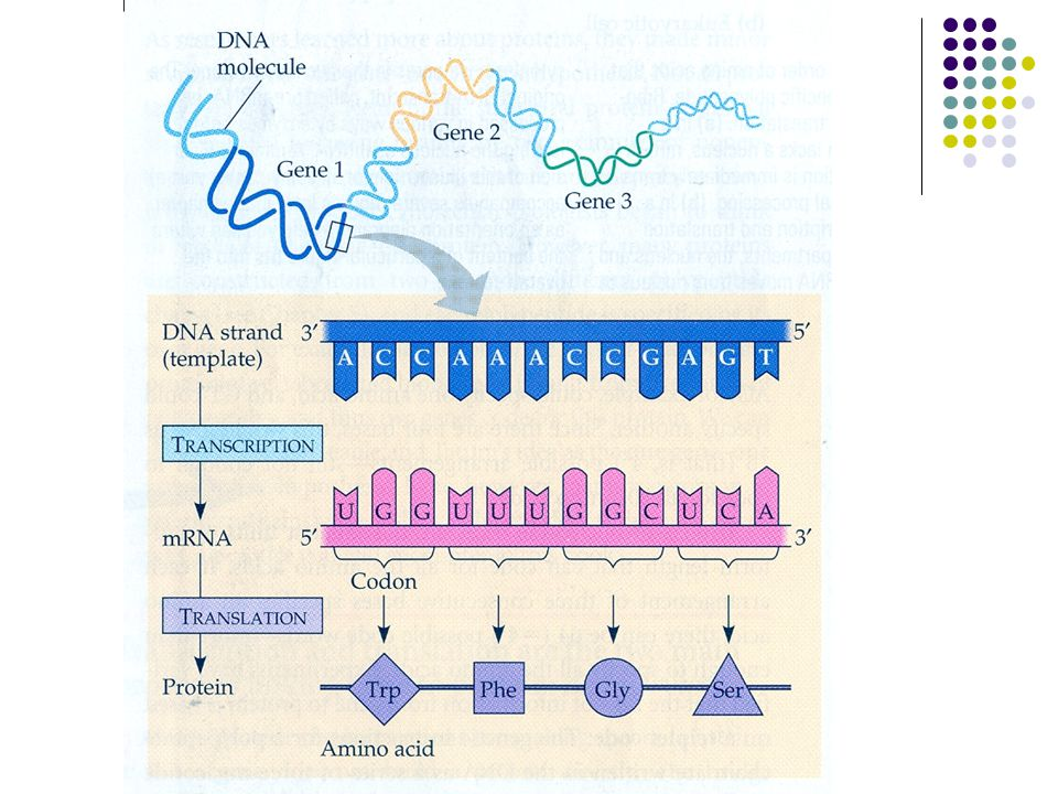 FLOW OF INFORMATION: THE ROLE OF RNA DNA is transcribed to Pre-messenger RNA (Pre-mRNA) Pre- mRNA is the same length of the DNA strand being copied.