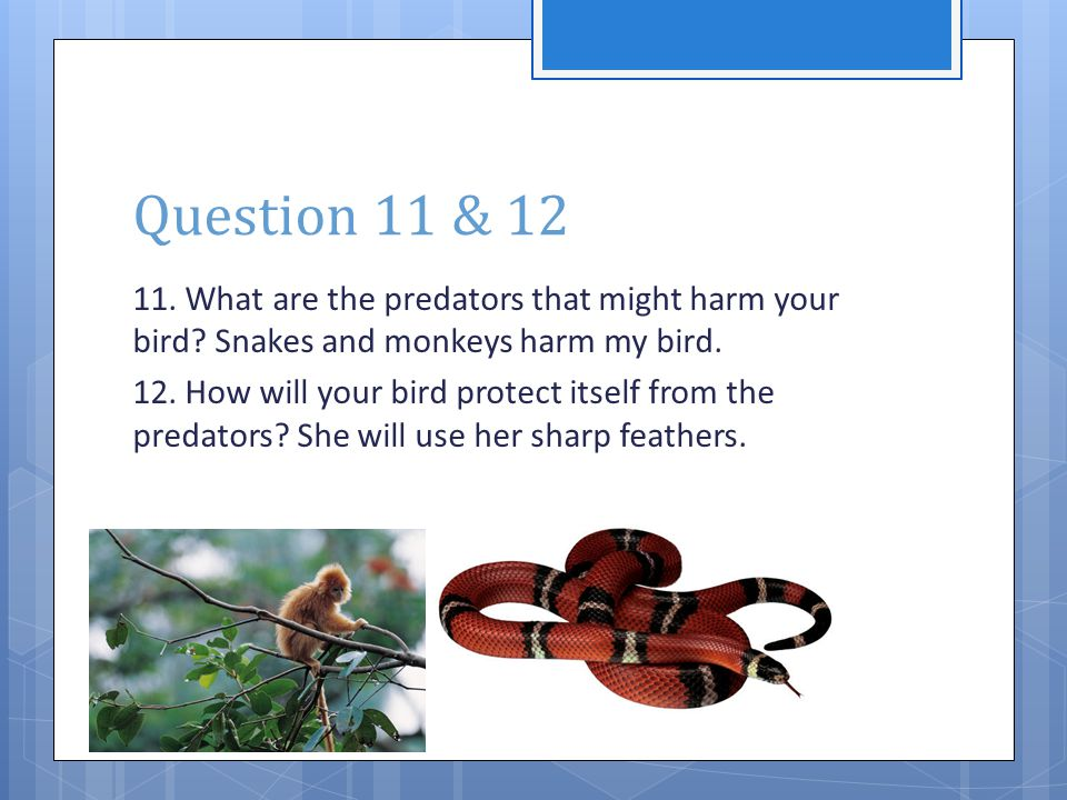 Question 11 & 12 11. What are the predators that might harm your bird? Snakes and monkeys harm my bird. 12. How will your bird protect itself from the
