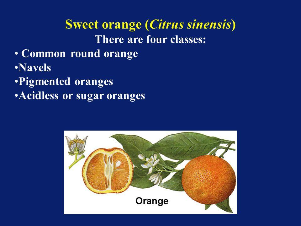Sweet orange (Citrus sinensis) There are four classes: Common round orange Navels Pigmented oranges Acidless or sugar oranges