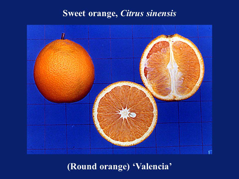 (Round orange) 'Valencia' Sweet orange, Citrus sinensis