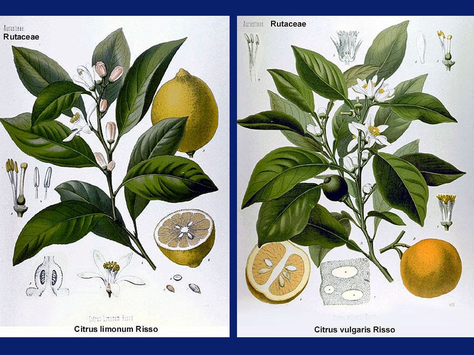Pigmented Oranges Grown in Mediterranean climates with hot days and cool nights.