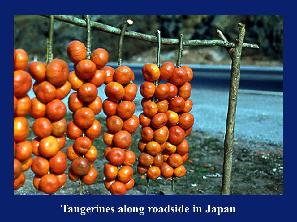 Tangerines along roadside in Japan