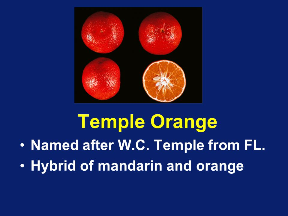 Temple Orange Named after W.C. Temple from FL. Hybrid of mandarin and orange