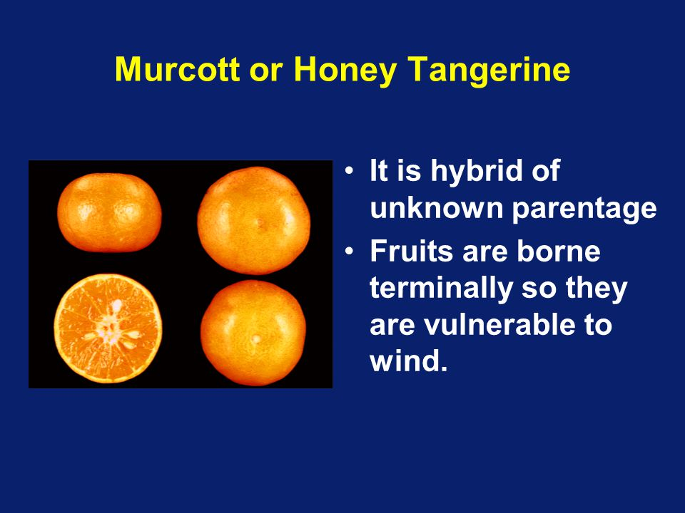 Murcott or Honey Tangerine It is hybrid of unknown parentage Fruits are borne terminally so they are vulnerable to wind.