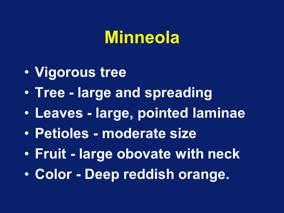 Minneola Vigorous tree Tree - large and spreading Leaves - large, pointed laminae Petioles - moderate size Fruit - large obovate with neck Color - Dee