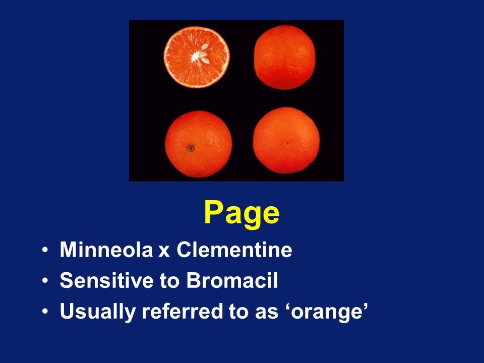 Page Minneola x Clementine Sensitive to Bromacil Usually referred to as 'orange'