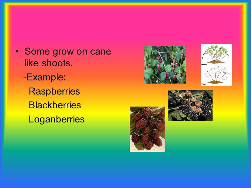 Some grow on cane like shoots. -Example: Raspberries Blackberries Loganberries