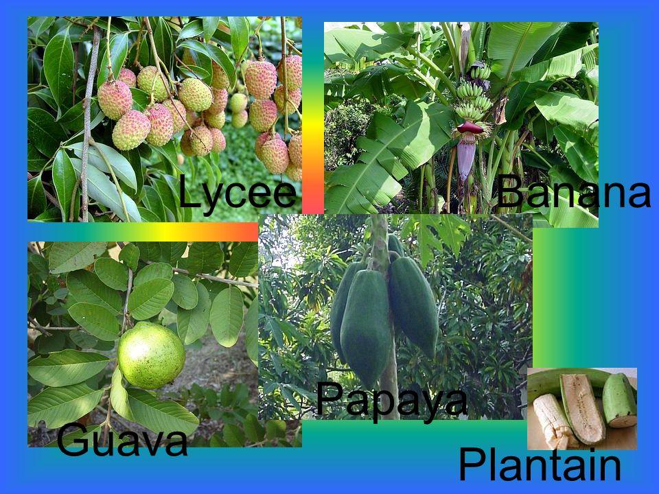 LyceeBanana Guava Papaya Plantain