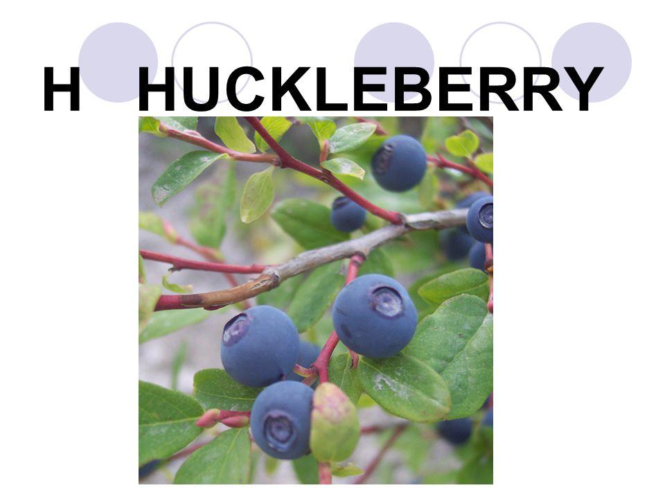 H HUCKLEBERRY