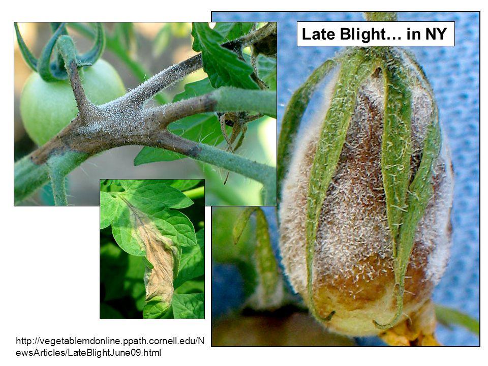 http://vegetablemdonline.ppath.cornell.edu/N ewsArticles/LateBlightJune09.html Late Blight… in NY