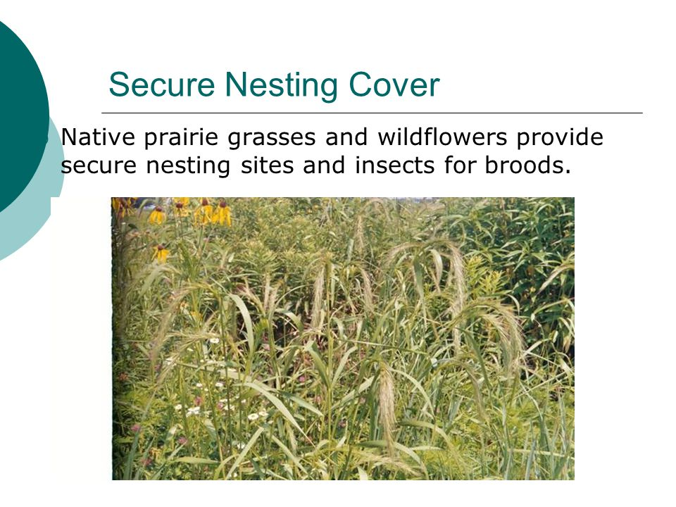 Secure Nesting Cover  Native prairie grasses and wildflowers provide secure nesting sites and insects for broods.
