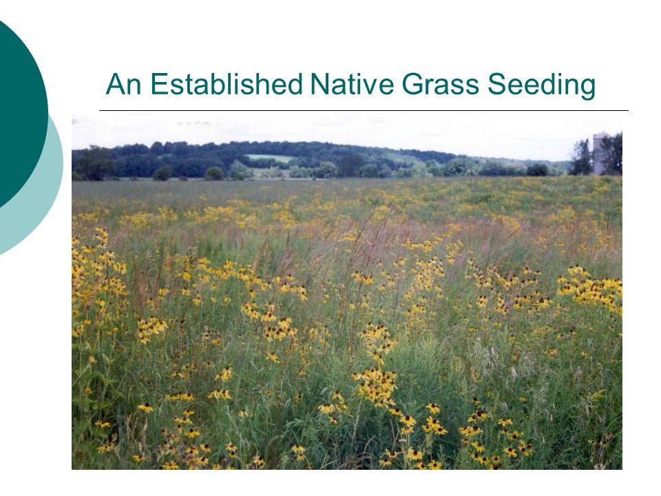 An Established Native Grass Seeding