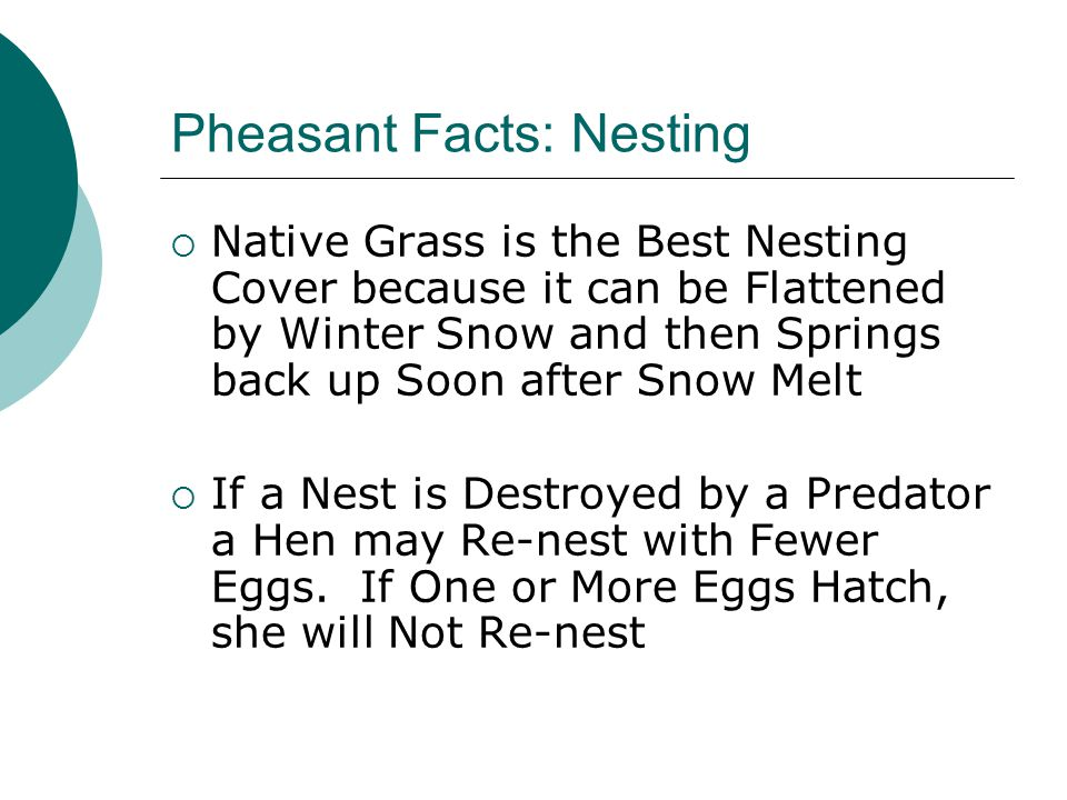 Pheasant Facts: Nesting  Native Grass is the Best Nesting Cover because it can be Flattened by Winter Snow and then Springs back up Soon after Snow M
