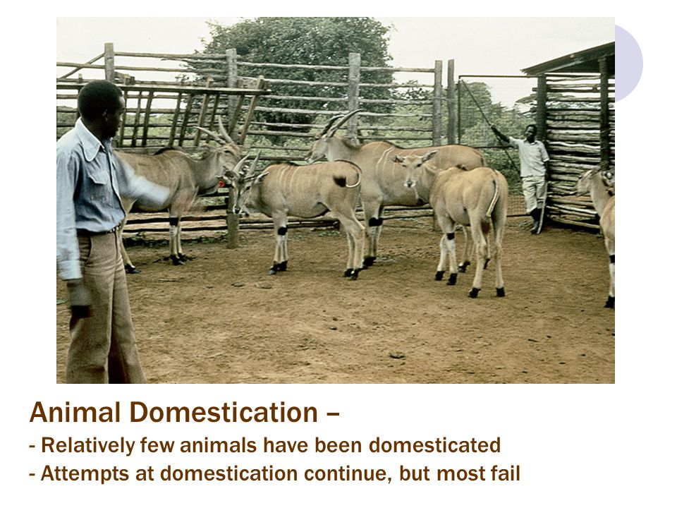 Animal Domestication – - Relatively few animals have been domesticated - Attempts at domestication continue, but most fail
