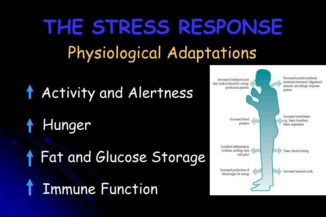 THE STRESS RESPONSE Physiological Adaptations Activity and Alertness Hunger Fat and Glucose Storage Immune Function
