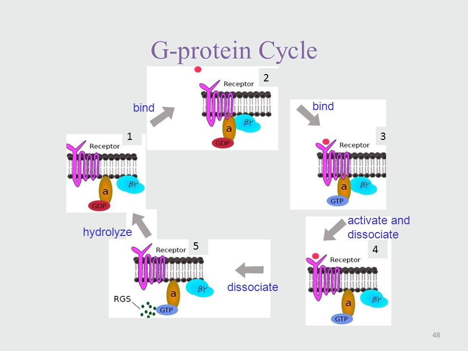 G-protein Cycle 48 1 2 3 4 5 bind activate and dissociate dissociate hydrolyze