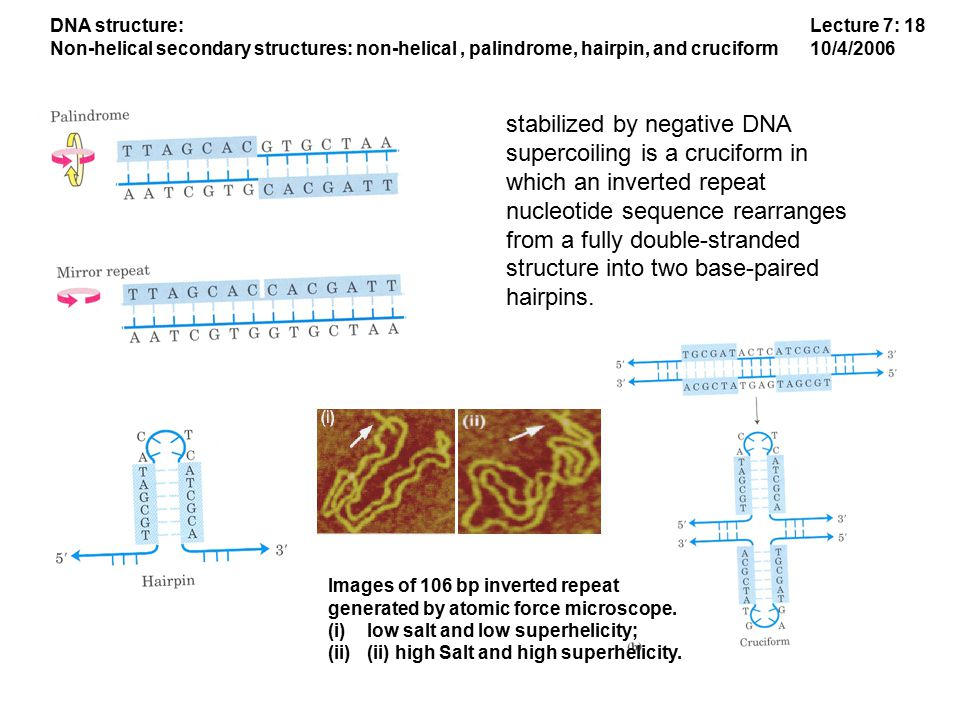 Lecture 7: 18 10/4/2006 DNA structure: Non-helical secondary structures: non-helical, palindrome, hairpin, and cruciform stabilized by negative DNA supercoiling is a cruciform in which an inverted repeat nucleotide sequence rearranges from a fully double-stranded structure into two base-paired hairpins.