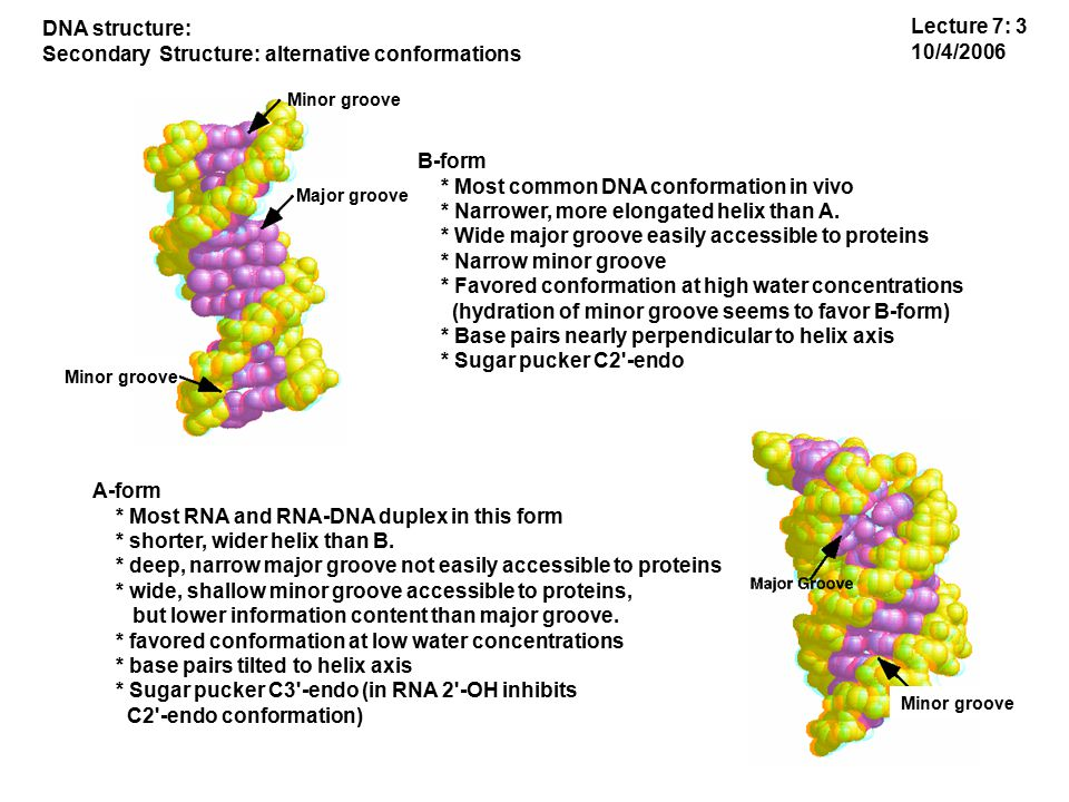 B-form * Most common DNA conformation in vivo * Narrower, more elongated helix than A.