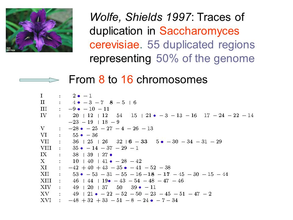 Wolfe, Shields 1997: Traces of duplication in Saccharomyces cerevisiae.