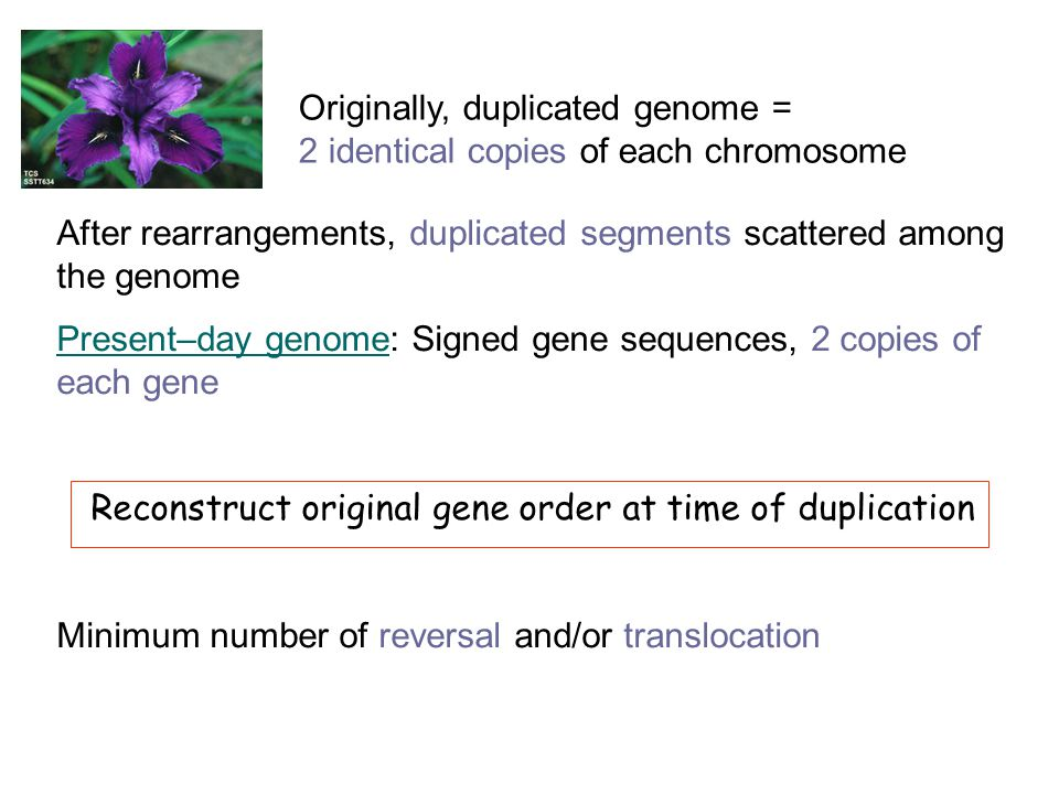 Originally, duplicated genome = 2 identical copies of each chromosome After rearrangements, duplicated segments scattered among the genome Present–day genome: Signed gene sequences, 2 copies of each gene Reconstruct original gene order at time of duplication Minimum number of reversal and/or translocation