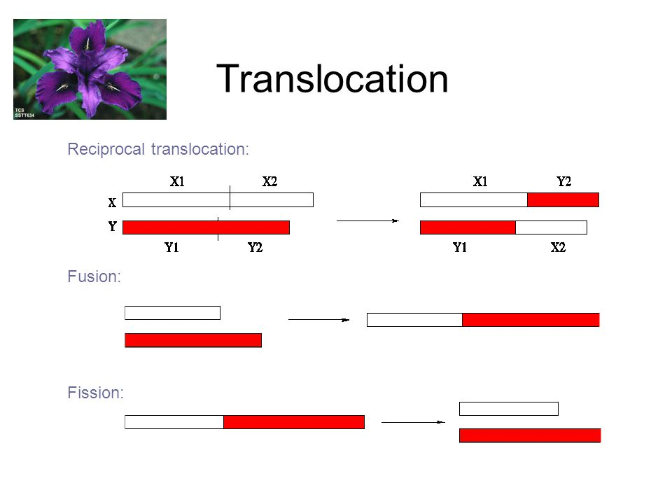 Translocation Reciprocal translocation: Fusion: Fission: