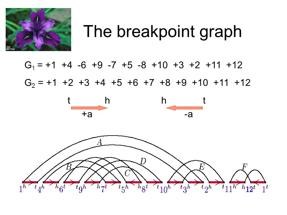 The breakpoint graph G 1 = +1 +4 -6 +9 -7 +5 -8 +10 +3 +2 +11 +12 G 2 = +1 +2 +3 +4 +5 +6 +7 +8 +9 +10 +11 +12 +a th -a ht
