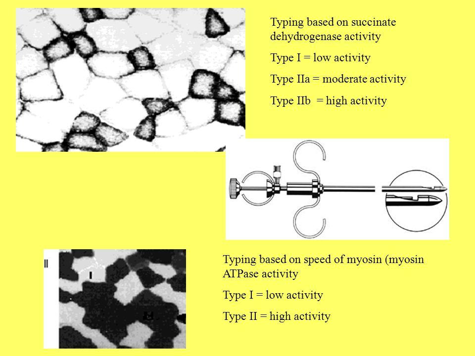Sarcolemma = cell membrane Fiber (cell) > myofibril (bundles of actin and myosin) > myofilaments (actin and myosin) Basic Structure of a Skeletal Muscle Fiber