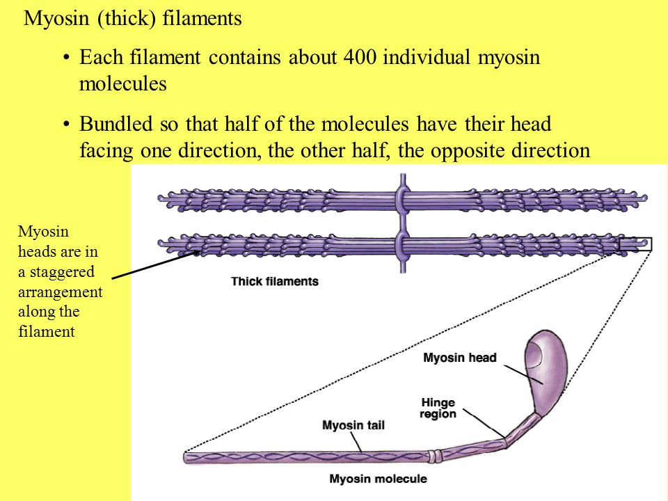 Myosin is composed of 6 polypeptide chains, 2 H or heavy chains, and two L or light chains Myosin head has ATPase activity Myosin has a hinge region where the molecule is flexible The myosin head has a high affinity for g actin In smooth muscle, light chains regulate myosin action; in cardiac and skeletal muscle, light chains partially determine the speed of the myosin ATPase activity