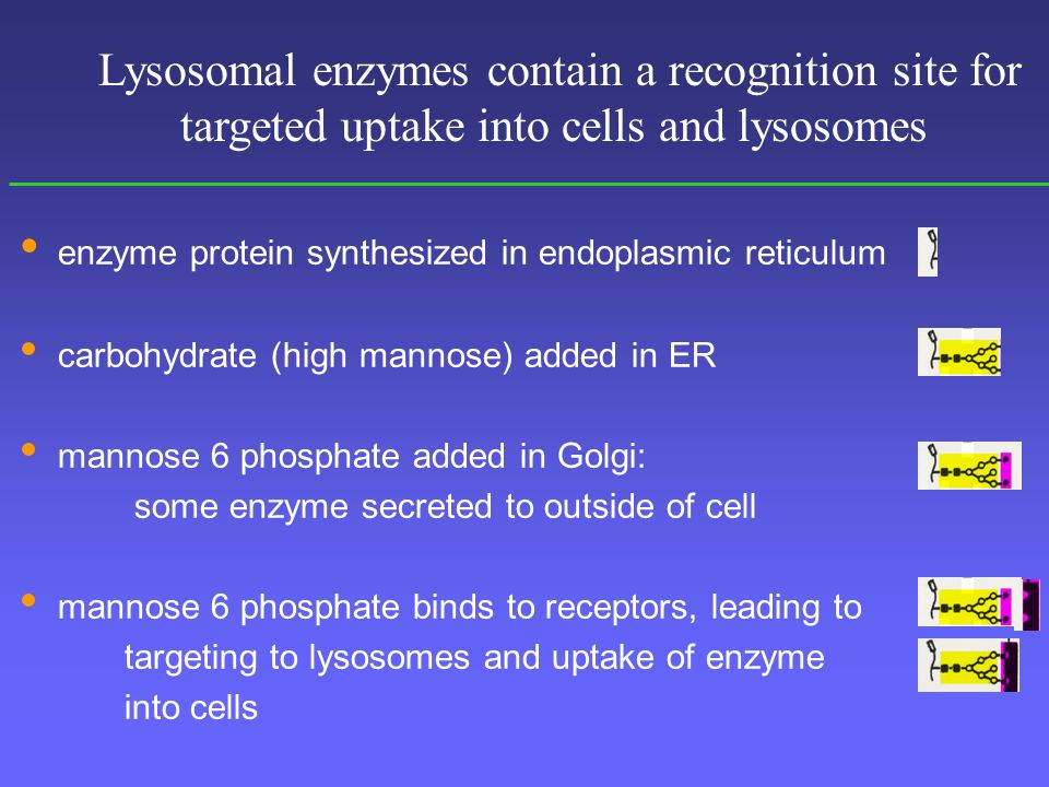enzyme protein synthesized in endoplasmic reticulum carbohydrate (high mannose) added in ER mannose 6 phosphate added in Golgi: some enzyme secreted to outside of cell mannose 6 phosphate binds to receptors, leading to targeting to lysosomes and uptake of enzyme into cells Lysosomal enzymes contain a recognition site for targeted uptake into cells and lysosomes