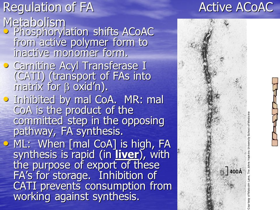Regulation of FAActive ACoAC Metabolism Phosphorylation shifts ACoAC from active polymer form to inactive monomer form.