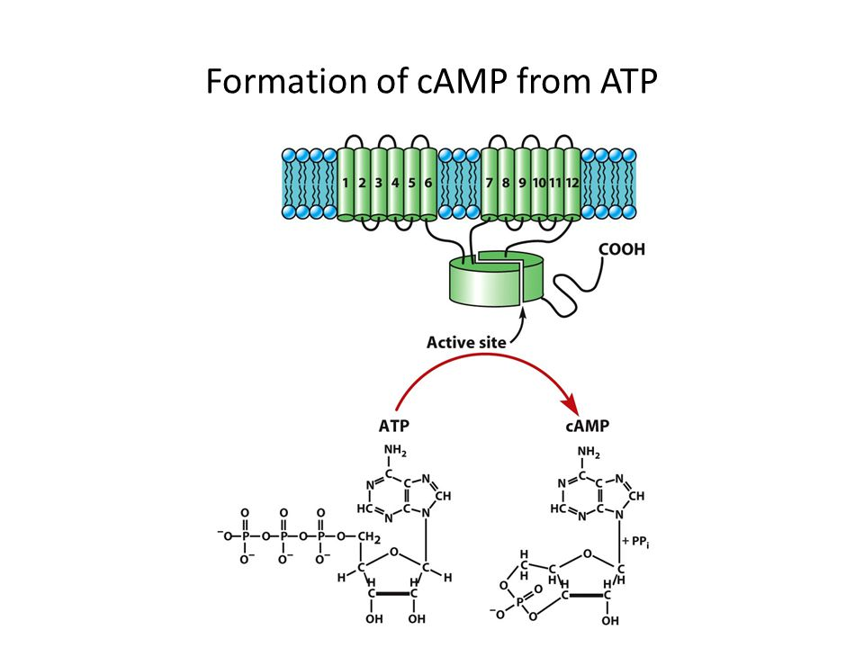 Formation of cAMP from ATP