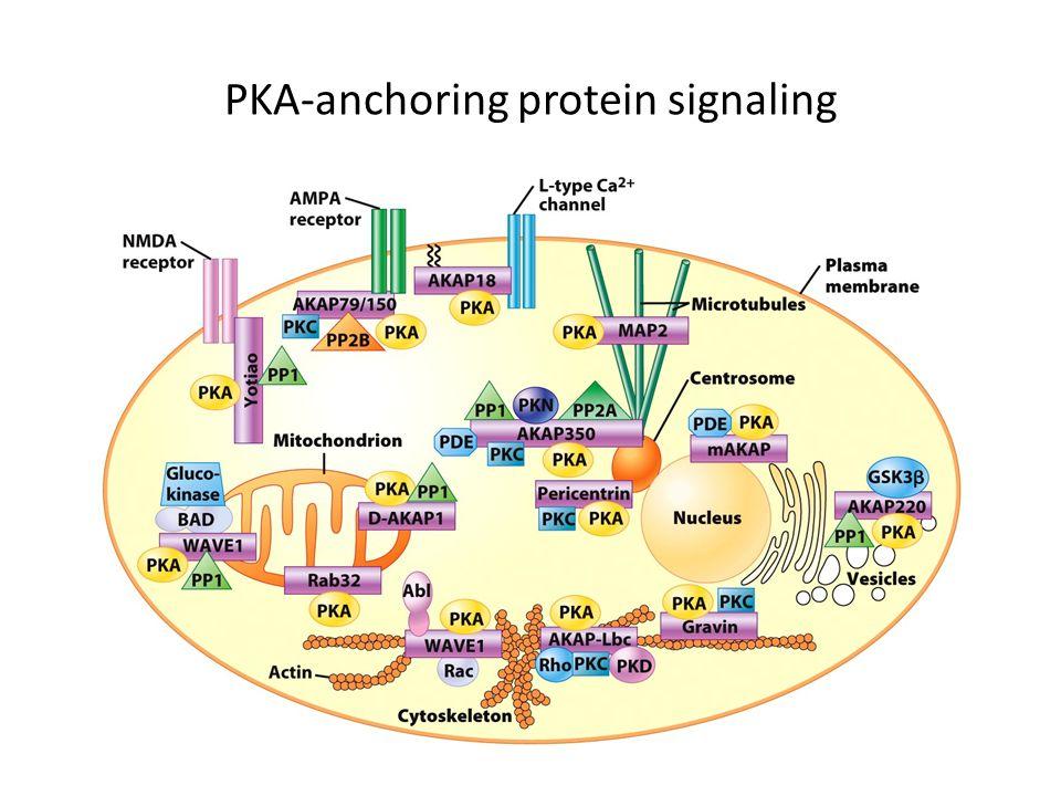 PKA-anchoring protein signaling