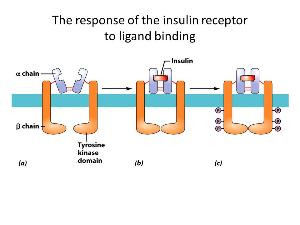 The response of the insulin receptor to ligand binding