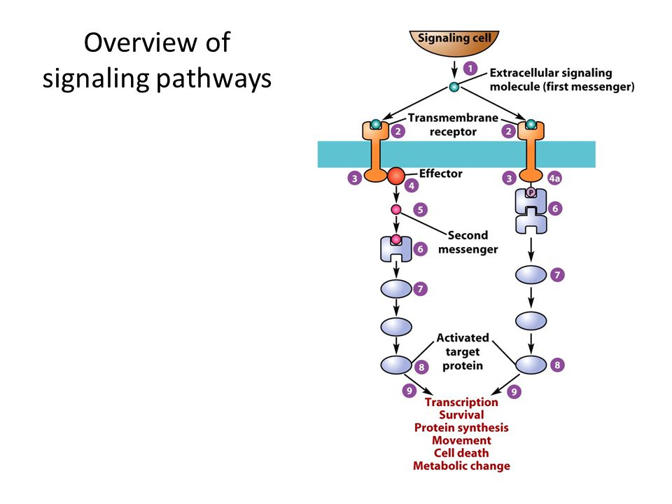 Overview of signaling pathways