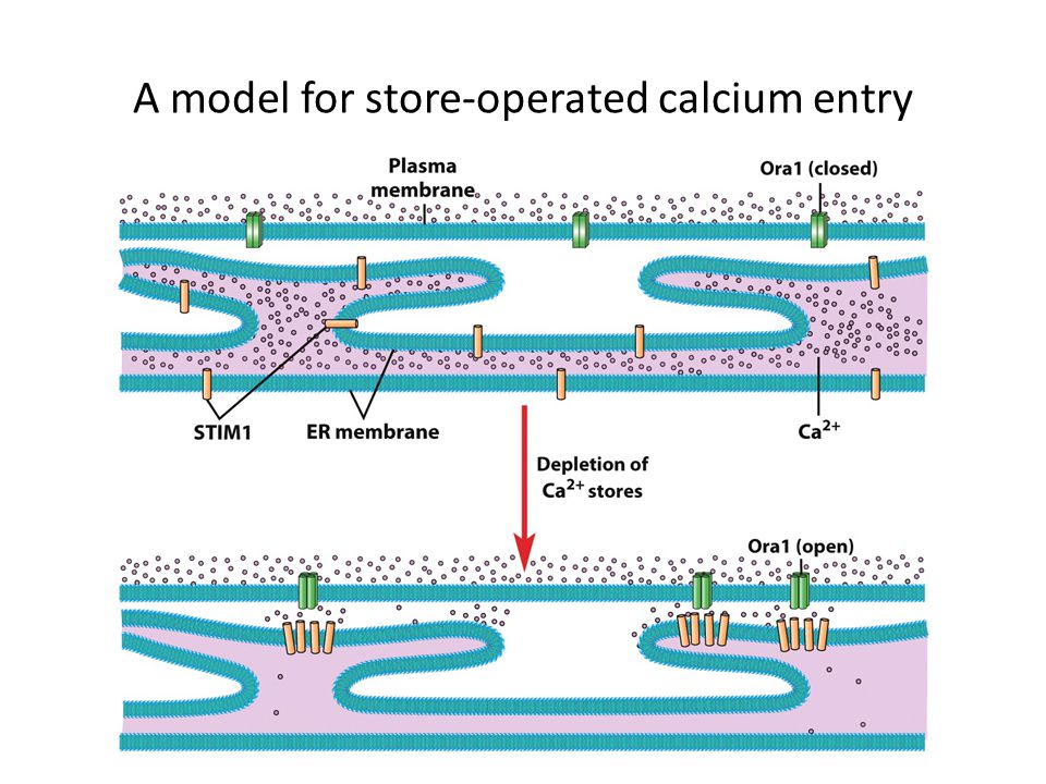 A model for store-operated calcium entry