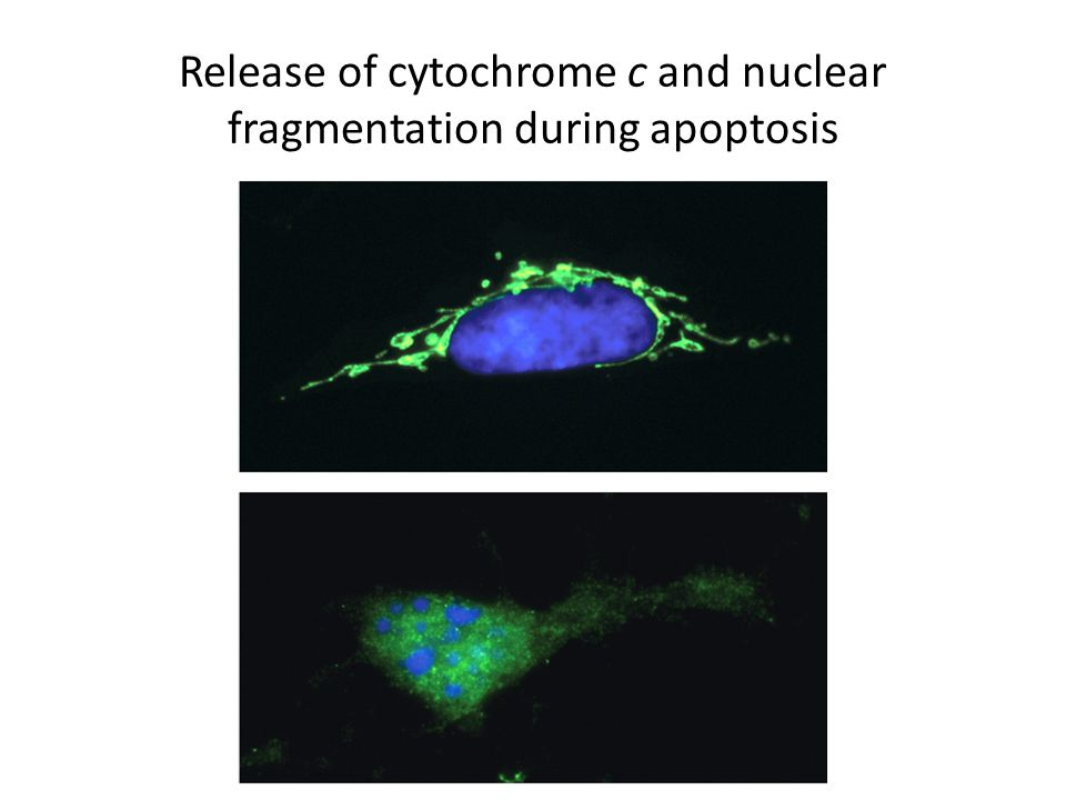 Release of cytochrome c and nuclear fragmentation during apoptosis