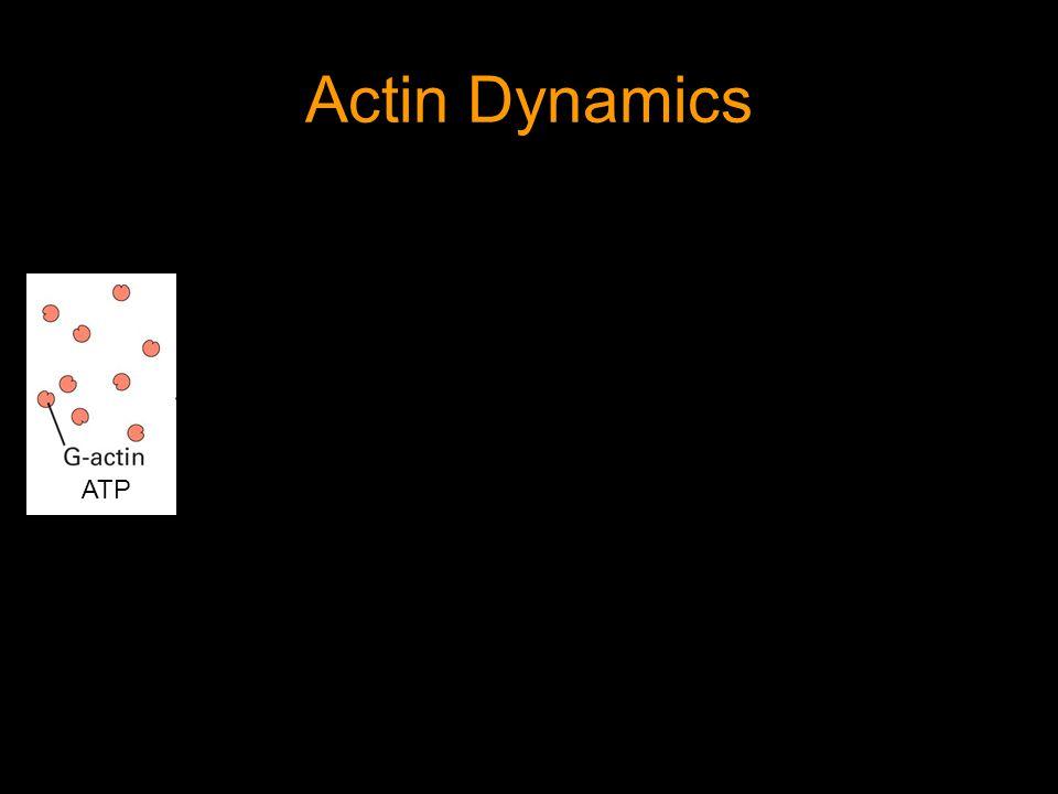 Actin Dynamics ATP