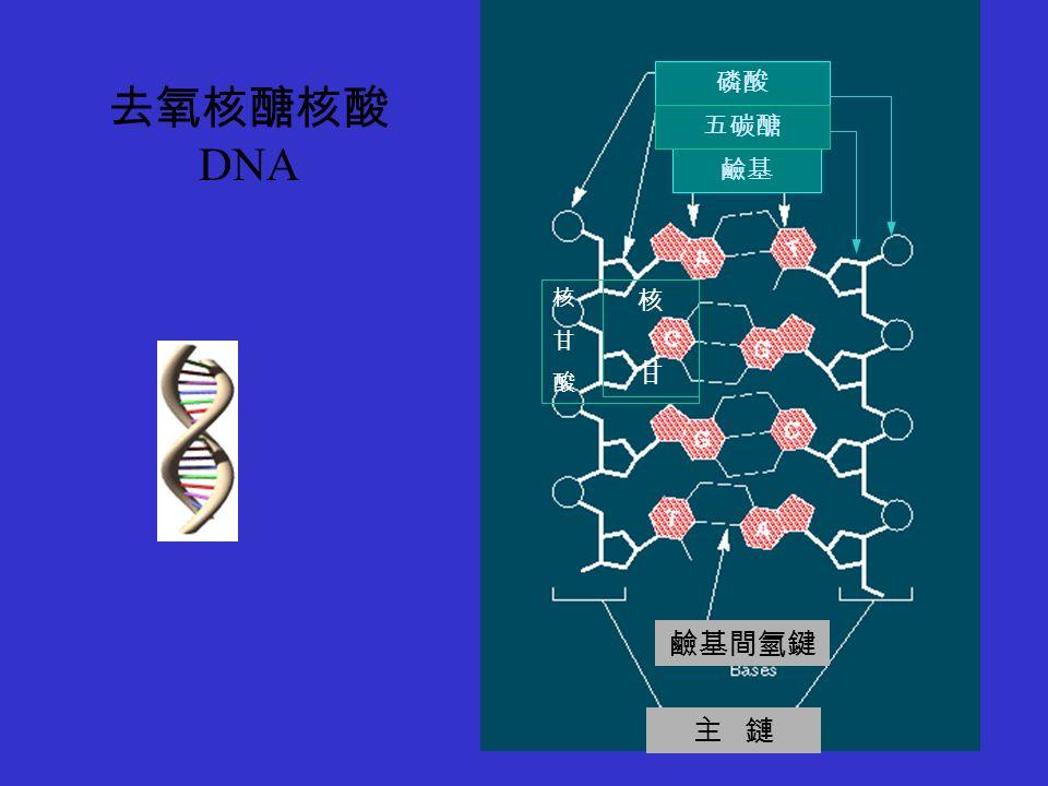 磷酸 鹼基 五碳醣 核甘核甘 核甘酸核甘酸 鹼基間氫鍵 主 鏈 去氧核醣核酸 DNA