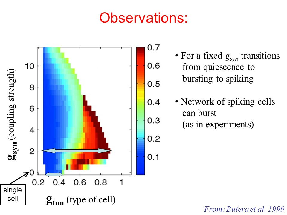 Observations: g ton (type of cell) g syn (coupling strength) From: Butera et al.