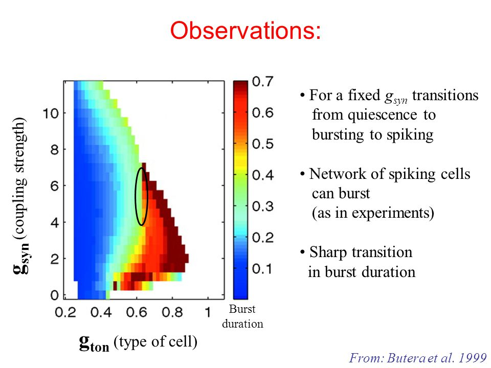 Observations: g ton (type of cell) g syn (coupling strength) Burst duration From: Butera et al.