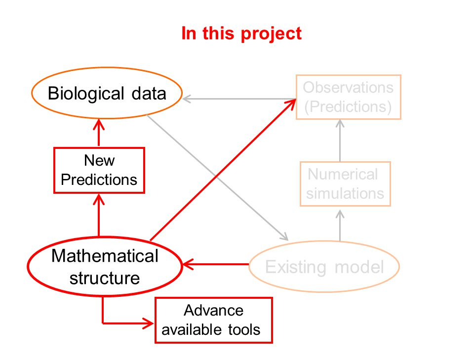 Biological data Existing model Numerical simulations Observations (Predictions) In this project Mathematical structure Advance available tools New Predictions