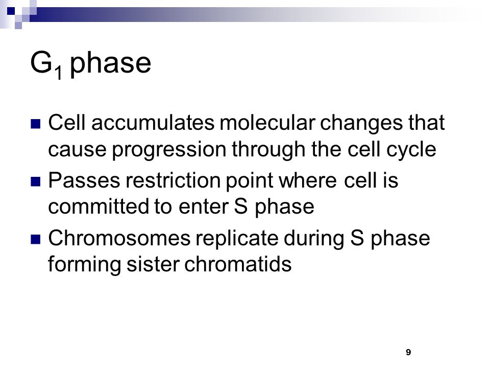 G 1 phase Cell accumulates molecular changes that cause progression through the cell cycle Passes restriction point where cell is committed to enter S phase Chromosomes replicate during S phase forming sister chromatids 9