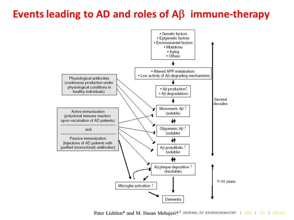 Events leading to AD and roles of A  immune-therapy